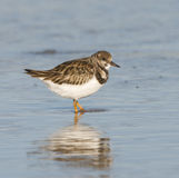 Ruddy Turnstone, Arenaria interpres Stock Photography