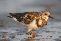 Ruddy Turnstone, Arenaria interpres Royalty Free Stock Photo