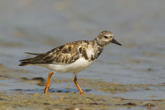 Ruddy Turnstone, Arenaria interpres Stock Image