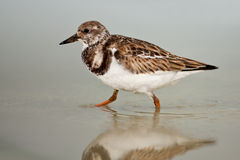 Ruddy Turnstone (Arenaria interpres) Royalty Free Stock Image