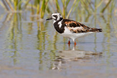 Ruddy Turnstone (Arenaria interpres) Stock Images