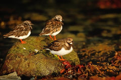 Ruddy Turnstone (Arenaria interpres) Royalty Free Stock Photos
