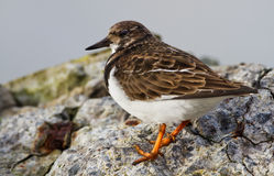 Ruddy Turnstone (Arenaria interpres) Stock Photography