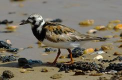 Ruddy Turnstone (Arenaria Interpres). Ruddy Turnstone walking on a pebbled beach stock photography