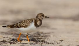 Ruddy Turnstone - Arenaria interpres Royalty Free Stock Image
