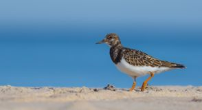 Ruddy Turnstone - Arenaria interpres Stock Photography