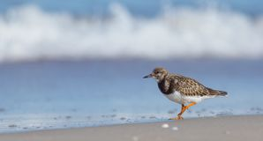 Ruddy Turnstone - Arenaria interpres Royalty Free Stock Photography