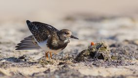 Ruddy Turnstone - Arenaria interpres Royalty Free Stock Photos