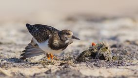 Ruddy Turnstone - Arenaria interpres Royalty Free Stock Images