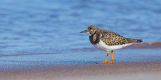 Ruddy Turnstone - Arenaria interpres Stock Photo