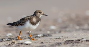 Ruddy Turnstone - Arenaria interpres Royalty Free Stock Photo