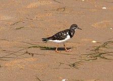 Ruddy turnstone or Arenaria interpres on beach Algarve Portugal Stock Photo
