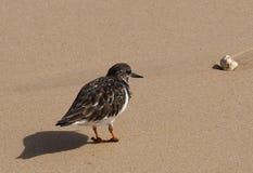 Ruddy turnstone or Arenaria interpres on beach Algarve Portugal Royalty Free Stock Photos