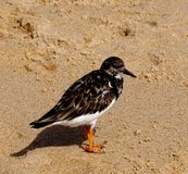 Ruddy turnstone or Arenaria interpres on beach Algarve Portugal Stock Image