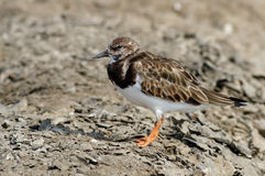 Ruddy Turnstone Arenaria interpres Royalty Free Stock Image