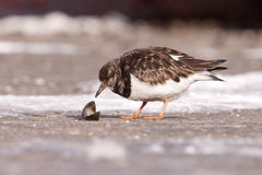 Ruddy Turnstone (Arenaria interpres) eating a clam Royalty Free Stock Photos