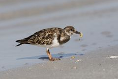 Ruddy Turnstone eating a crab - Fort DeSoto, Florida. Ruddy Turnstone Arenaria interpres eating a crab - Fort DeSoto, Florida Royalty Free Stock Images