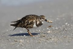 Ruddy Turnstone eating a crab - Fort DeSoto, Florida. Ruddy Turnstone Arenaria interpres eating a crab - Fort DeSoto, Florida Royalty Free Stock Photos