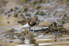 Ruddy Turnstone (Arenaria interpres) Stock Photos