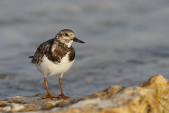 Ruddy Turnstone (Arenaria interpres morinella) Royalty Free Stock Photos
