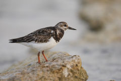 Ruddy Turnstone (Arenaria interpres morinella) Royalty Free Stock Image