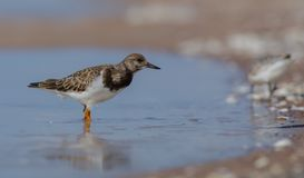 Ruddy Turnstone - Arenaria interpres Stock Image