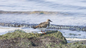 Ruddy Turnstone, Arenaria interpres, searching for food in seaweed at sea shoreline, close-up portrait Stock Photos