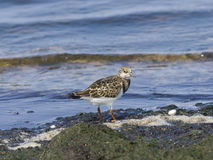 Ruddy Turnstone, Arenaria interpres, searching for food in seaweed at sea shoreline, close-up portrait Royalty Free Stock Photo