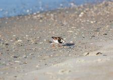 Ruddy Turnstone auf Strand stockfotografie