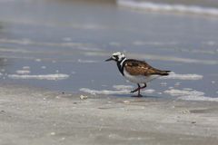 Ruddy Turnstone on a Beach - Bolivar Peninsula, Texas Stock Photos