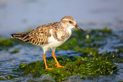 Ruddy Turnstone on the beach of Paracas Bay, Peru Royalty Free Stock Photo