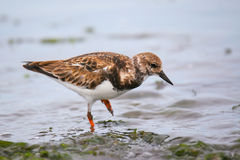 Ruddy Turnstone on the beach of Paracas Bay, Peru Royalty Free Stock Photography