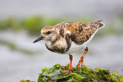 Ruddy Turnstone on the beach of Paracas Bay, Peru Royalty Free Stock Photos