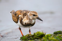 Ruddy Turnstone on the beach of Paracas Bay, Peru Royalty Free Stock Image