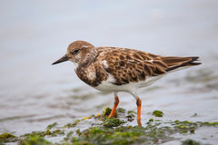 Ruddy Turnstone on the beach of Paracas Bay, Peru Stock Photography