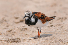 Ruddy Turnstone bird Royalty Free Stock Images