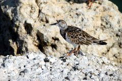 Ruddy Turnstone bird Stock Photos