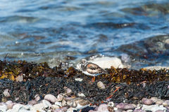 Ruddy Turnstone bird Stock Images