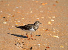 Ruddy turnstone bird on beach Royalty Free Stock Photography