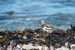 Ruddy Turnstone bird closeup Royalty Free Stock Photography