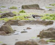 Ruddy Turnstone bird in color in daylight on the sand in summer alone stock photography