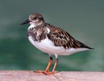 Ruddy Turnstone Bird die zich door een Pool van Water bevinden Royalty-vrije Stock Fotografie