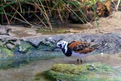 Ruddy Turnstone bird foraging Royalty Free Stock Photo