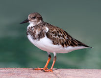 Ruddy Turnstone Bird standing by a Pool of Water Royalty Free Stock Photography