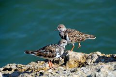 Ruddy Turnstone birds Royalty Free Stock Photos