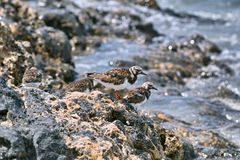 Ruddy turnstone birds sitting on the shore stones Royalty Free Stock Image