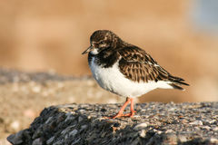 Ruddy turnstone, Cadiz, Spain Stock Photos