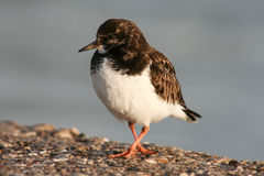 Ruddy turnstone, Cadiz, Spain Stock Images