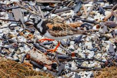 Ruddy Turnstone in Calico Camouflage royalty free stock image