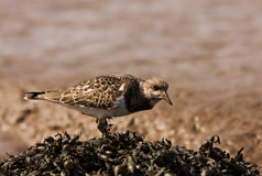 A Ruddy Turnstone close-up Royalty Free Stock Images